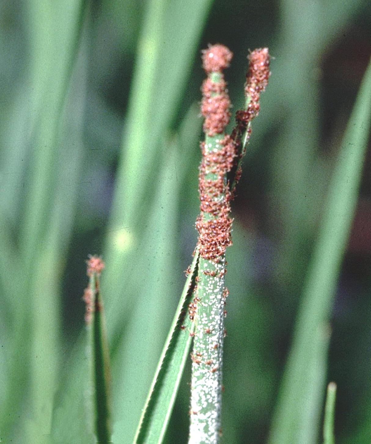 Grass Tip Larvae