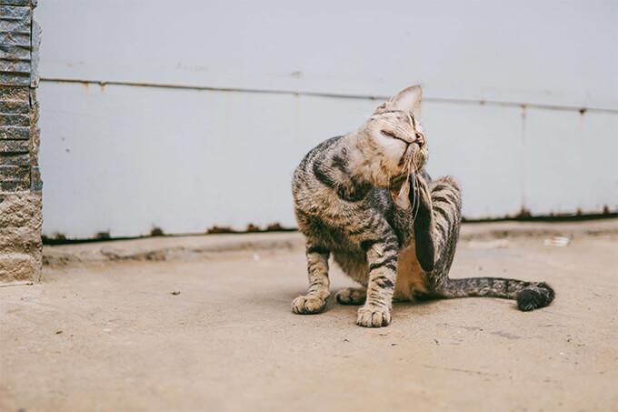 Cat scratching its head