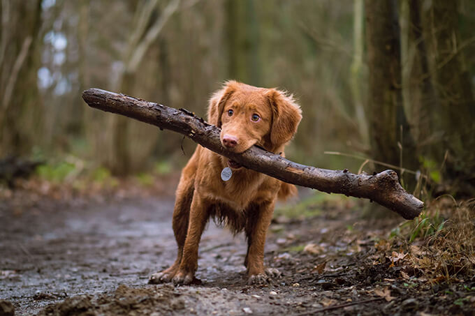 Dog holding a branch in the woods